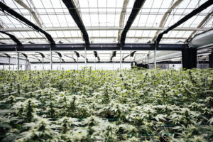 Glass House Farms grows on half-a-million square feet of space